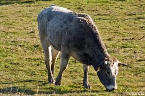 Race Gasconne (taureau)